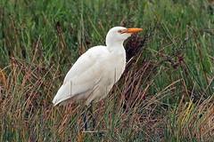 cattle egret (DODO 1959) Tags: wildlife cattleegret avian animal fauna birds nature heron outdoor canon 100400mmmk2 7dmk2 carmarthenshire wales wwt llanelli goodhallhide