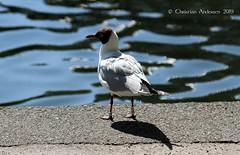 ... The name is Gull - C. Gull ... (ChristianofDenmark) Tags: christianofdenmark denmark copenhagen summer seagull jonathan