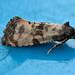 0966_W4A0628 Cochylis atricapitana