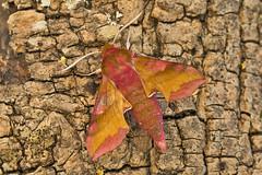 1992-_W4A0714 Small Elephant Hawk-moth (Deilephila porcellus) (ajmatthehiddenhouse) Tags: moth uk garden stmargaretsatcliffe kent 2018 deilephila porcellus deilephilaporcellus smallelephanthawkmoth sphingidae