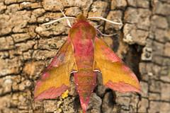 1992-_W4A0712 Small Elephant Hawk-moth (Deilephila porcellus) (ajmatthehiddenhouse) Tags: moth uk garden stmargaretsatcliffe kent 2018 deilephila porcellus deilephilaporcellus smallelephanthawkmoth sphingidae