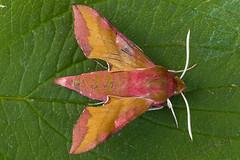 1992-_W4A0711 Small Elephant Hawk-moth (Deilephila porcellus) (ajmatthehiddenhouse) Tags: moth uk garden stmargaretsatcliffe kent 2018 deilephila porcellus deilephilaporcellus smallelephanthawkmoth sphingidae