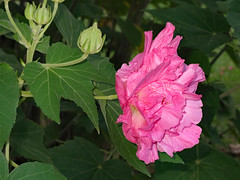 Pink Confederate Rose. (dccradio) Tags: lumberton nc northcarolina robesoncounty outdoor outdoors outside canon powershot elph 520hs leaf leaves foliage october monday mondayevening goodevening plant greenery confederaterose pink flower floral flowers bloom blooms blooming blossom blossoms blossoming hibiscus