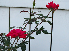 Rose Bush And Fence. (dccradio) Tags: lumberton nc northcarolina robesoncounty outdoor outdoors outside canon powershot elph 520hs leaf leaves foliage october monday mondayevening goodevening plant greenery flower floral flowers bloom blooms blooming blossom blossoms blossoming red rose rosebush roses rosegarden whitefence