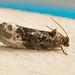 1083-_W4A0573 Marbled Orchard Tortrix (Hedya nubiferana)