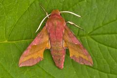 1992-_W4A0589 Small Elephant Hawk-moth (Deilephila porcellus) (ajmatthehiddenhouse) Tags: moth uk garden stmargaretsatcliffe kent 2018 deilephila porcellus deilephilaporcellus smallelephanthawkmoth sphingidae