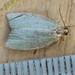 1033-_W4A0657 Green Oak Tortrix (Tortrix viridana)