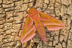 1991-_W4A0715 Elephant Hawk-moth (Deilephila elpenor) (ajmatthehiddenhouse) Tags: moth uk garden stmargaretsatcliffe kent 2018 sphingidae deilephilaelpenor deilephila elpenor elephanthawkmoth