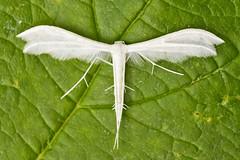 1513-_W4A0743 White Plume Moth (Pterophorus pentadactyla) (ajmatthehiddenhouse) Tags: moth uk garden stmargaretsatcliffe kent 2018 pterophoridae whiteplumemoth pterophoruspentadactyla pterophorus pentadactyla