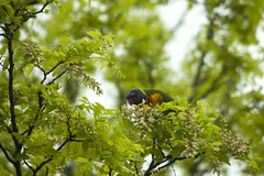 P3II8943 (Ian Luc) Tags: pentaxk3 pentax nature wildlife birds aussie flying trees spring rainbowlorikeet parrot