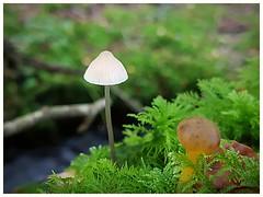 by the stream (Gi8SKN) Tags: fungi moss stream dof mushroom ireland antrim carrickfergus gi8skn cameraphone s7 galaxy samsung