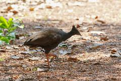 Orange-footed Scrubfowl (Megapodius reinwardt) (KristenMartyn) Tags: australia tourism travel ecotourism bird birds orangefootedscrubfowl scrubfowl megapodiusreinwardt nothernterritory