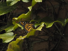 DSCF9069 (Josie Doefer) Tags: indianapolis in indiana zoo butterfly insect lepidoptera flowers animals plants