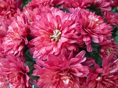 Mums In Bloom.