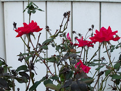 Roses. (dccradio) Tags: lumberton nc northcarolina robesoncounty outdoor outdoors outside canon powershot elph 520hs leaf leaves foliage october monday mondayevening goodevening plant greenery flower floral flowers bloom blooms blooming blossom blossoms blossoming red rose rosebush roses rosegarden whitefence