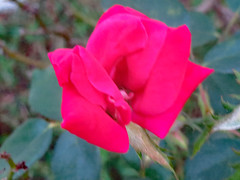 Blurred Pink Rose. (dccradio) Tags: lumberton nc northcarolina robesoncounty outdoor outdoors outside canon powershot elph 520hs leaf leaves foliage october monday mondayevening goodevening plant greenery flower floral flowers bloom blooms blooming blossom blossoms blossoming rose rosebush rosegarden pink