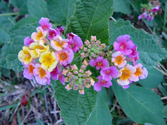 Lantana In Bloom. (dccradio) Tags: lumberton nc northcarolina robesoncounty outdoor outdoors outside canon powershot elph 520hs leaf leaves foliage october monday mondayevening goodevening plant greenery flower floral flowers bloom blooms blooming blossom blossoms blossoming lantana colorful