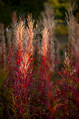 Autumnal attention seekers (tonguedevil) Tags: outdoor outside countryside nature field meadow rosebaywillowherb red morning colour light shadows sunlight sunrise