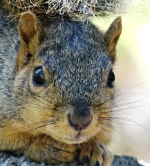 Squirrel (EcoSnake) Tags: squirrels easternfoxsquirrel wildlife october portrait idahofishandgame naturecenter