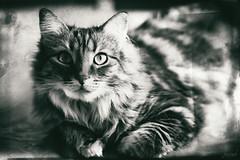 Je suis comme ça, c'est tout moi. (LACPIXEL) Tags: chat cat gato pet animal noiretblanc blancoynegro blackwhite retrato portrait