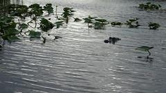 Everglades Alligator Park (Laurent_D.) Tags: cruise croisière msc seaside caraïbes caribbean florida everglades miami alligator