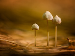 The Shroom Family (marianna armata) Tags: mushroom gills gilled tiny pine needles gold yellow brown 3 marianna armata