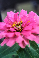 Zippy Zinnia Series (vickieklinkhammer) Tags: flower plant petal leaf pollen pink noperson floweringplant nature flora garden botany summer close bright sitting color zinnia closeup annualplant blooming green outdoors floral growth beautiful veins floraldesign blur delicate season bokeh landscape macro outside vibrant radiant day daytime daylight sun sunshine sunlight stamen pretty beauty brightness flowerhead yellow