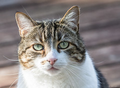 If these eyes could talk! (Picture-Perfect Cats) Tags: cat spyder eyes outdoors portrait cute dreamy tabby
