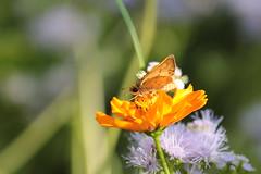 (rarobbins3365) Tags: fieryskipper