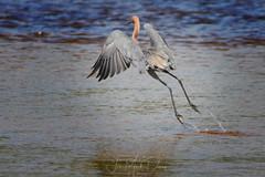 Leaping Reddish Egrets (QuakerVille) Tags: jonmarkdavey bird redbird reddish egret wetland marsh egrettarufescens dingdarling various redishegret rarebird sanibel florida unitedstates