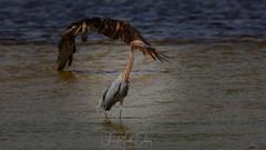 Reddish Egret photobombed by a fishing Osprey (QuakerVille) Tags: jonmarkdavey bird redbird reddish egret wetland marsh egrettarufescens dingdarling various redishegret rarebird sanibel florida unitedstates