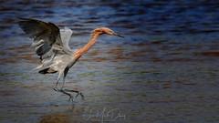 The Reddish Egret hop (QuakerVille) Tags: jonmarkdavey bird redbird reddish egret wetland marsh egrettarufescens dingdarling various redishegret rarebird sanibel florida unitedstates