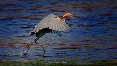 Reddish Egret walking on the water (QuakerVille) Tags: jonmarkdavey bird redbird reddish egret wetland marsh egrettarufescens dingdarling various redishegret rarebird sanibel florida unitedstates