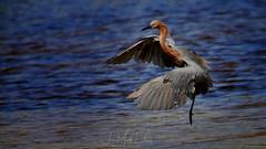 Action with Reddish Egret (QuakerVille) Tags: jonmarkdavey bird redbird reddish egret wetland marsh egrettarufescens dingdarling various redishegret rarebird sanibel florida unitedstates