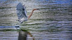 Reddish Egrets dance while they fish (QuakerVille) Tags: jonmarkdavey bird redbird reddish egret wetland marsh egrettarufescens dingdarling various redishegret rarebird sanibel florida unitedstates