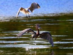 Reddish Egret and gull fight for a fish (QuakerVille) Tags: jonmarkdavey bird redbird reddish egret wetland marsh egrettarufescens dingdarling various