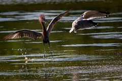 Reddish Egret and sea gull (QuakerVille) Tags: jonmarkdavey bird redbird reddish egret wetland marsh egrettarufescens dingdarling various