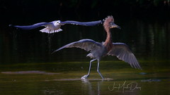 Reddish Egret interacting with a seagul (QuakerVille) Tags: jonmarkdavey bird redbird reddish egret wetland marsh egrettarufescens dingdarling various redishegret rarebird sanibel florida unitedstates