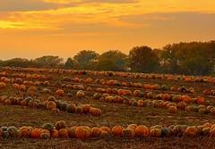 Ready for Halloween :-) (majka44) Tags: pumpkins orange landscape sunset light evening halloween autumn view field tree forest nature october sky colors nice atmosphere mood cloud