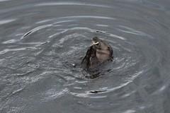 IMG_3016 (LezFoto) Tags: canoneos700d sigma 700d canon 120400mmf4556dgapooshsm digitalslr dslr canonphotography sigmalens aberdeen scotland unitedkingdom otter lutralutra riverdon mammal nature wildlife aquatic semiaquatic marine wild free