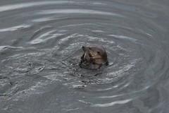 IMG_3015 (LezFoto) Tags: canoneos700d sigma 700d canon 120400mmf4556dgapooshsm digitalslr dslr canonphotography sigmalens aberdeen scotland unitedkingdom otter lutralutra riverdon mammal nature wildlife aquatic semiaquatic marine wild free