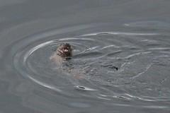 IMG_3005 (LezFoto) Tags: canoneos700d sigma 700d canon 120400mmf4556dgapooshsm digitalslr dslr canonphotography sigmalens aberdeen scotland unitedkingdom otter lutralutra riverdon mammal nature wildlife aquatic semiaquatic marine wild free