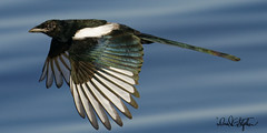 Magpie Flies By (dcstep) Tags: cherrycreekstatepark colorado usa allrightsreserved copyright2019davidcstephens dxophotolab sonya9 fe600mmf4gmoss handheld dsc8044dxo magpie blackbilledmagpie fly flying flight bif birdinflight black white blue