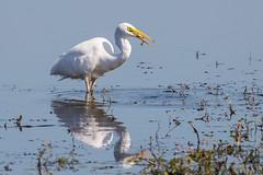 Great White Egret (Glenn.B) Tags: nature naturereserve hamwall wildlife somerset rspb someretlevels bird water egret avian greatwhiteegret