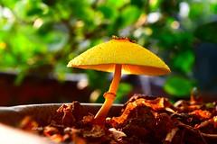 Mushroom (Sheuli Hossain) Tags: nature mushroom