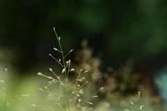 Simple is Beautiful (Sheuli Hossain) Tags: nature grassseeds