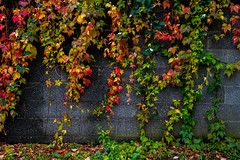 Fall on the wall (Gullivers adventures) Tags: fall autumn wall floyd leaves nature nice crisp green red orange
