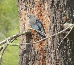 Artamus cyanopterus 5 (nbgact) Tags: mulligans flat nature reserve forde canberra act ausbird ausbirds barry m ralley barrymralley