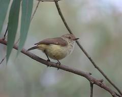 Acanthiza reguloides reguloides 5 (nbgact) Tags: mulligans flat nature reserve forde canberra act ausbird ausbirds barry m ralley barrymralley