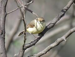 Acanthiza reguloides reguloides 4 (nbgact) Tags: mulligans flat nature reserve forde canberra act ausbird ausbirds barry m ralley barrymralley